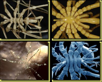 Sea Spiders – from the South Pole to the Tropics