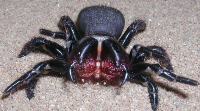 All You Want to Know About the Eastern Mouse Spider – But Were Afraid to Ask