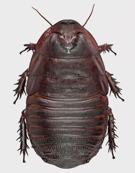 A new species of giant cockroach, Macropanesthia sp.,Visionary Digital image, Canon 5D MkII, focus stacked with Zerene. Pin and dust removed with Photoshop.