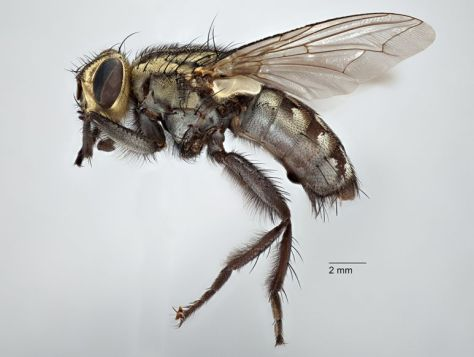Gold Award winner and winner, Best Overall Biological Photo. The definitive specimen, Holotype (QMT2351), of a flesh fly Sarcophaga alpha, described using this specimen by Johnston and Tiegs in 1922. Visionary Digital image, Canon 5D MkII, focus stacked with Zerene.