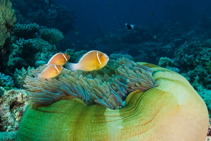 """A family of Pink Anemonefish (Amphiprion perideraion) with their host anemone (Heteractis magnifica). Image from """"The Great Barrier Reef: A Queensland Museum Discovery Guide""""."""