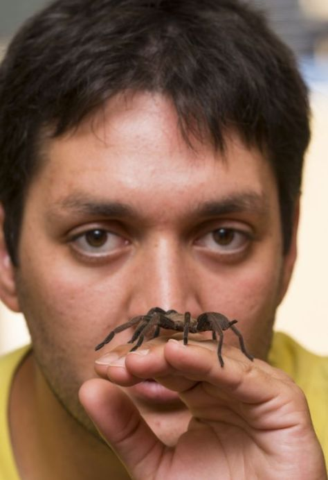 My colleague Renan Castro Santana, pictured with a placid Phlogius crassipes, Thick-legged Eastern Tarantula. Renan is from Brazil and preparing to do a PhD at the University of Newcastle and handles these spiders with a great deal of care. Handling tarantulas is a delicate operation; dropping them can cause their stomachs to rupture and kill them.