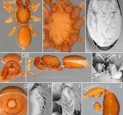 71 new Australian Goblin spider species named by QM researcher