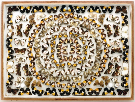This stunning moth case is part of a series produced by Frederick Parkhurst Dodd, arranged to show the beauty of insects.
