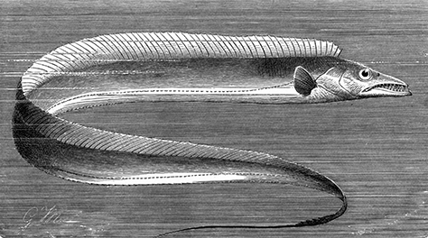 Related to the scabbardfish, Evoxymetopon anzac was the first species named after the - now - famous expeditionary force.
