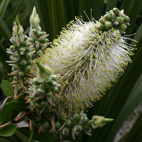 The cultivar Callistemon citrinus, otherwise known as White Anzac