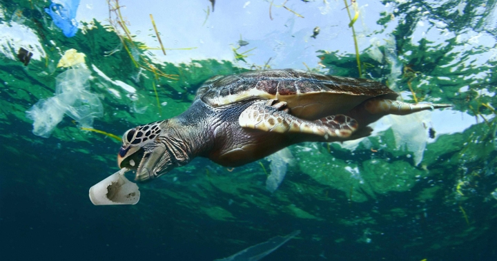 Sea turtle eating a styrofoam cup.