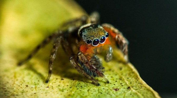 Stunning new spiders jump into our hearts