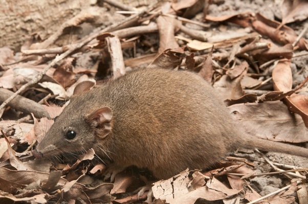 Buff-footed Antechinus