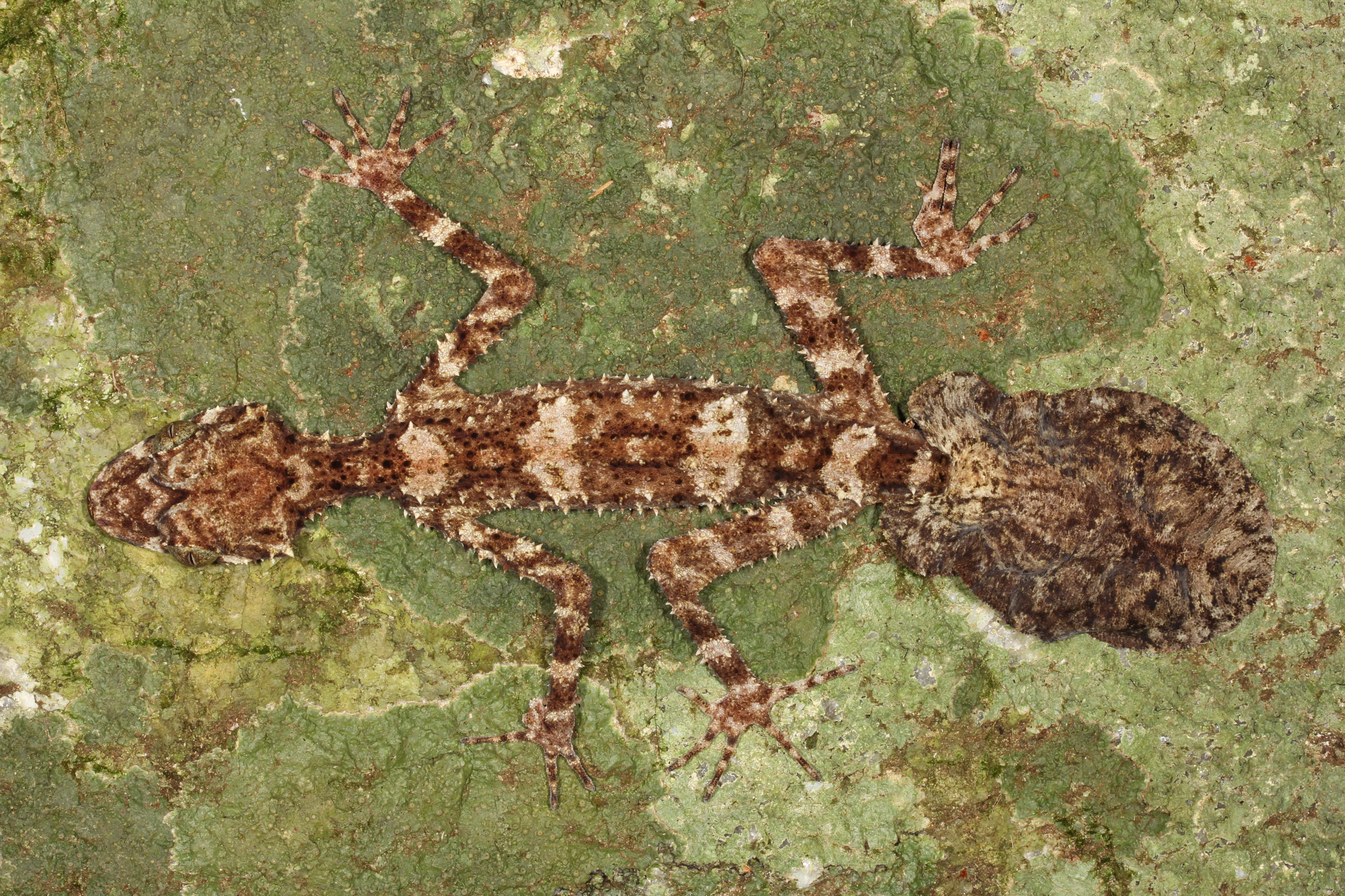 new leaftail gecko_Conrad Hoskin_9