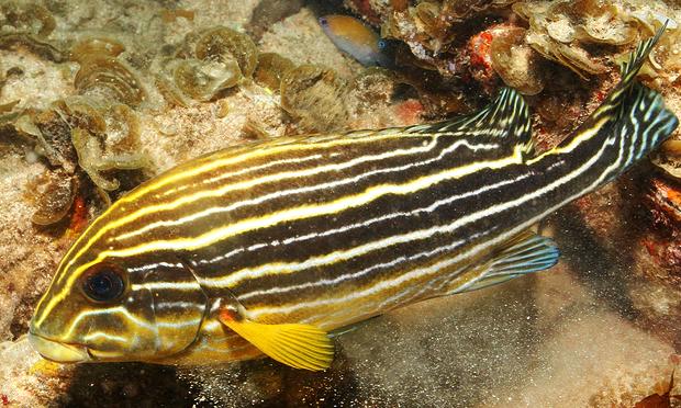 Plectorhinchus caeruleonothus2QM