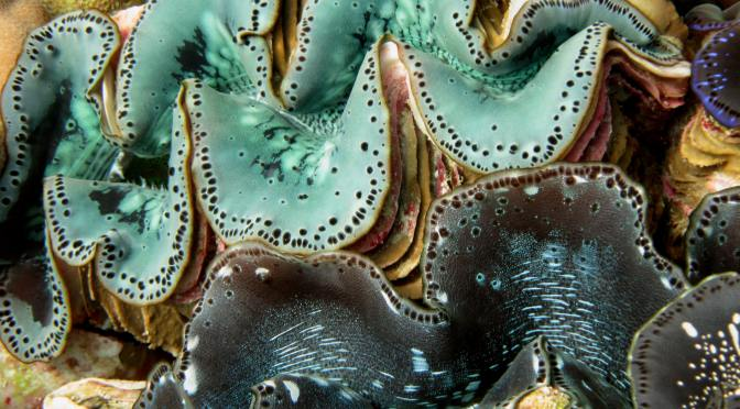 North Queensland giant clams under stress