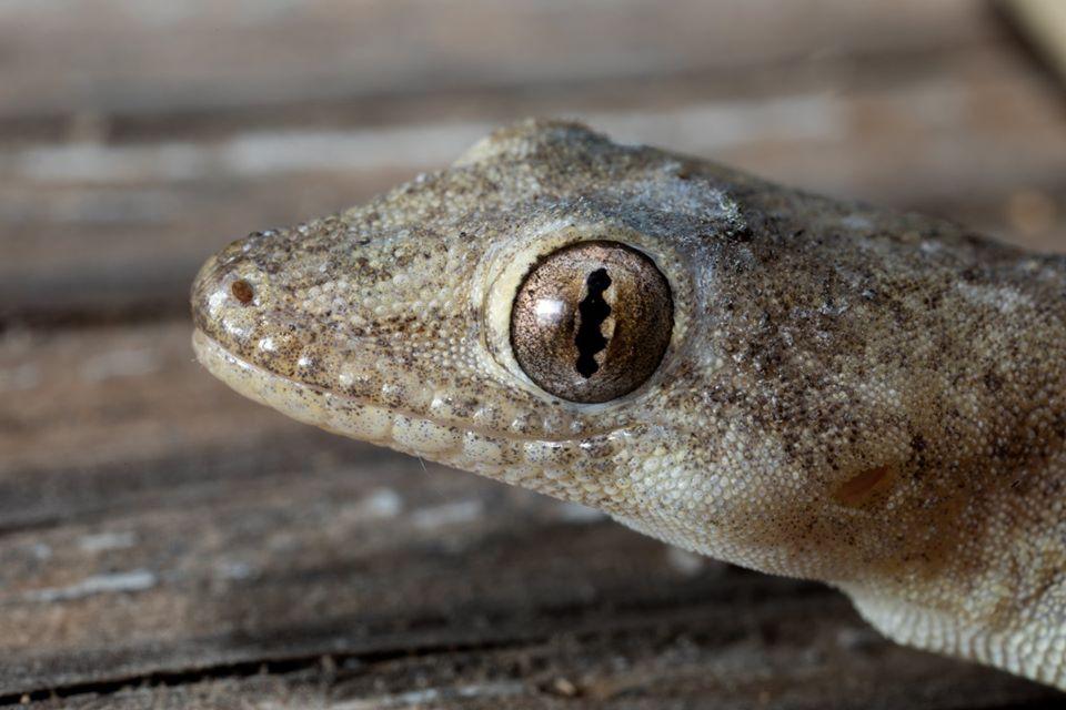 9Asian House Gecko portrait 5312_o
