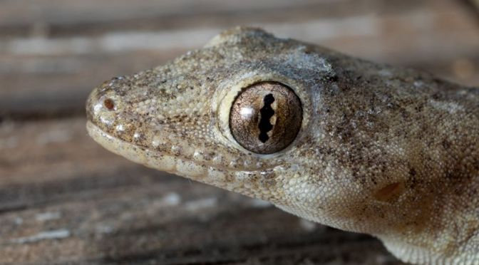What species of Geckos can you find around your home?