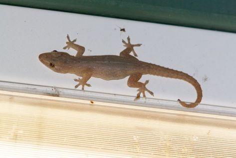Asian House Gecko diagnostic pic4736_o