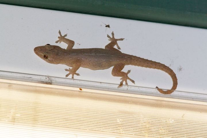 Asian House Gecko diagnostic pic4736_o