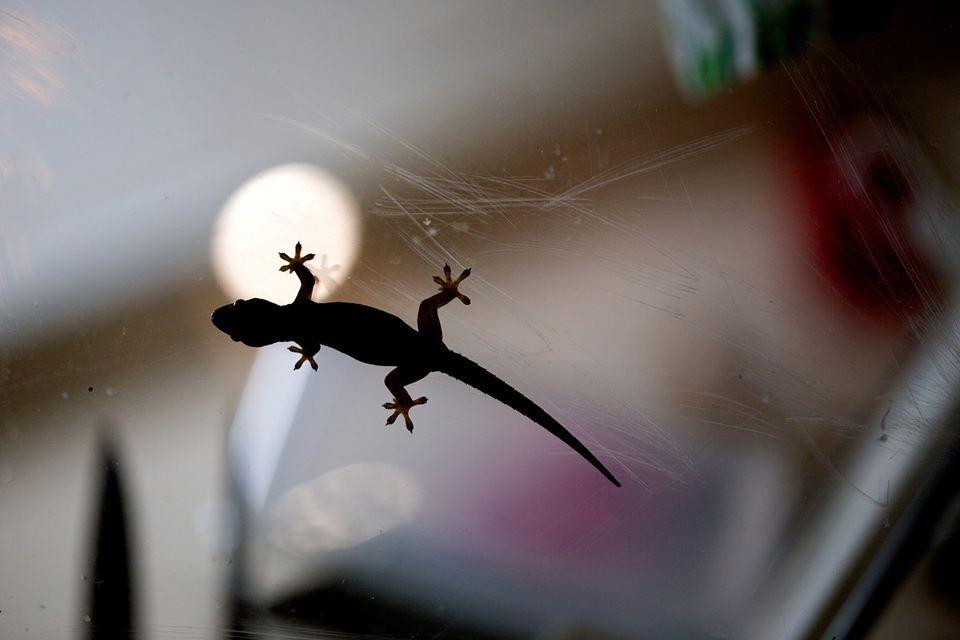 Asian House Gecko on glass4272_o