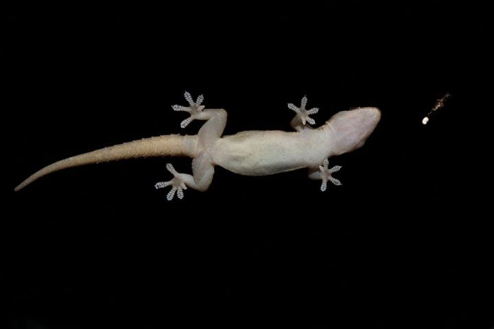 Asian House Gecko on glass754