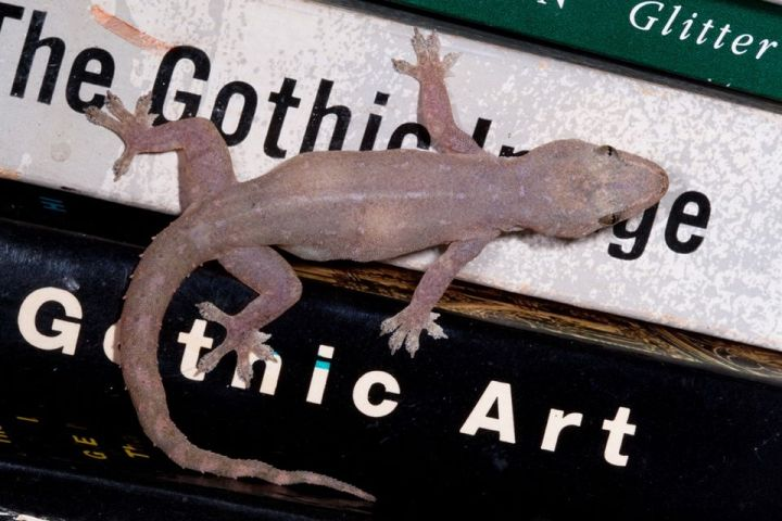 Asian House Gecko on light reading material7024_o