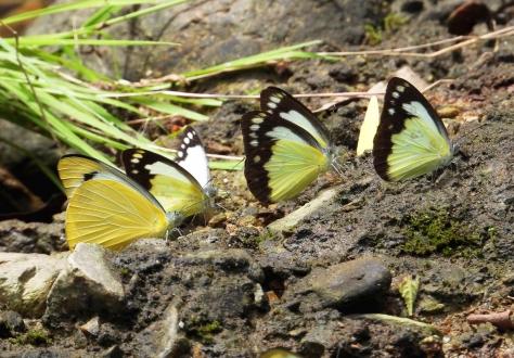 Butterflies Gold Creek Reservoir Mar 2020 DSCN1786