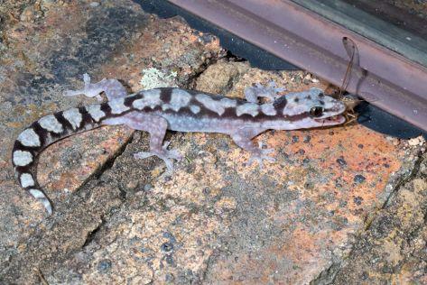 Robust velvet gecko eating.3520