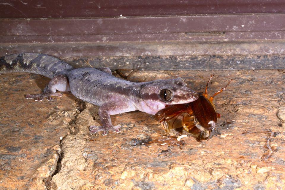 Robust velvet gecko eating928