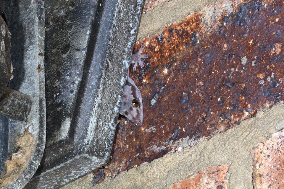 Robust velvet geckos lurking936