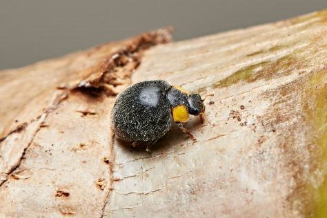 Yellow Shouldered Ladybird - Apolinus lividigaster