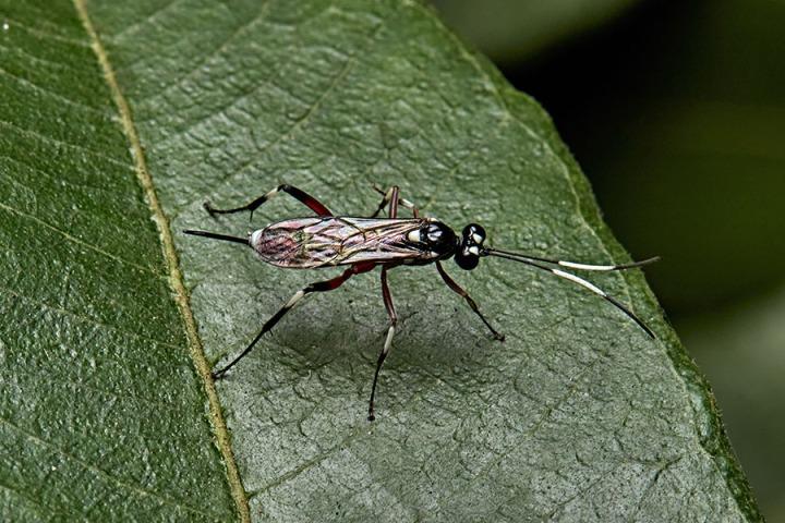 cryptine ichneumonid wasp_sml