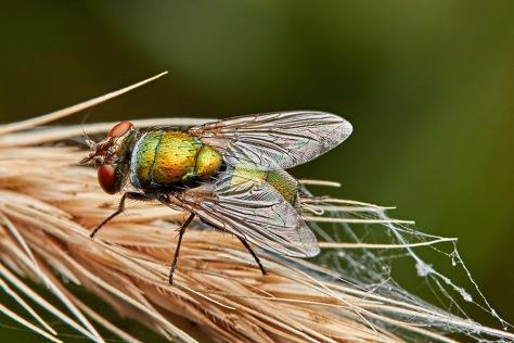 Blowfly, Lucilia sp. on grass seed head, Brisbane, Queensland Australia