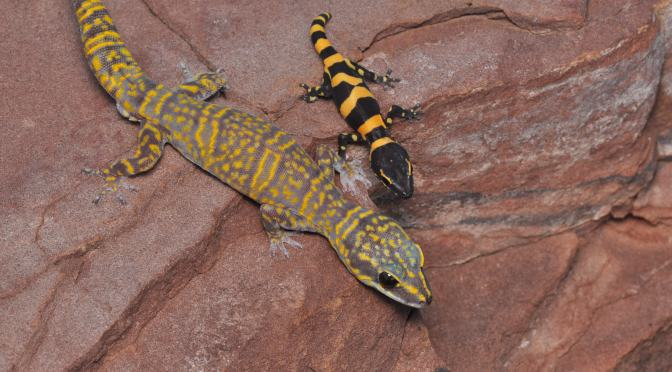 New species: velvet gecko discovered on one of Australia's northern islands
