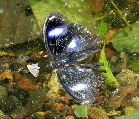 Varied Eggfly Gold Creek Reservoir May 2020 DSCN2234