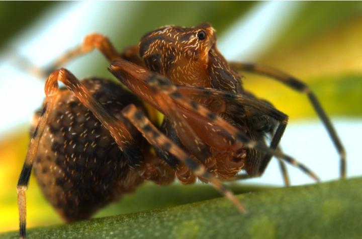 Zephyrarchaea_robinsi_W.A