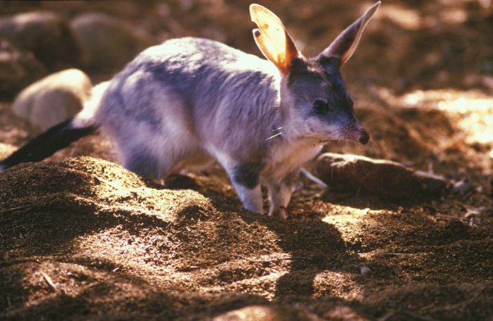 Rabbit-eared Bandicoot