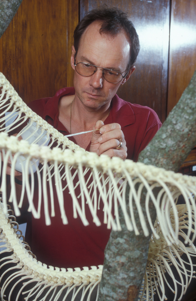 Patrick Couper cleaning a reticulated Python skeleton